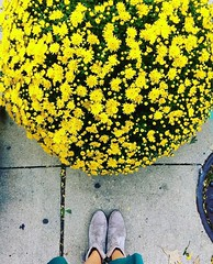 #Repost @lakeview_wanderer ・・・ Mums' the word. #fallflowers #mums #southportcorridor #sopretty (southportcorridorchicago) Tags: instagramapp square squareformat iphoneography uploaded:by=instagram southport southportcorridor wrigley wrigleyville lakeview chicago fall 2016 cubs city urban retail restaurants