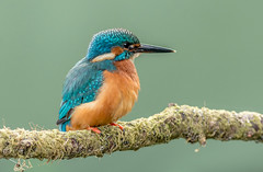 DSC5785  Kingy.. (jefflack Wildlife&Nature) Tags: kingfisher kingfishers fishers birds avian wildlife wildbirds waterbirds wetlands reservoirs riverbirds rivers lakes ponds countryside nature ngc npc