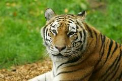 Amur Tiger (D464-Darren Hall) Tags: tiger dublinzoo zoo bigcat catfamily amurtiger