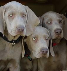 Le trio (Mystycat =^..^=) Tags: weimaraner braquedeweimar chien dog hund perro animal greyghost levage