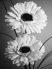 295/366 2016 - Artifice (fishyfish_arcade) Tags: 20mmf17 gx7 lumix panasonic panasonic20mmf17asphlumixg flowers artificial 366 365 blackwhite blackandwhite bw monochrome mono
