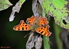 DSC_0070n wb (bwagnerfoto) Tags: cbetűs lepke polygonia calbum cfalter comma butterfly pillangó tagfalter schmetterling insect macro closeup depthoffield nature outdoor bakony rovar természet animal fauna