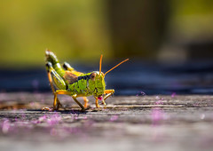 Pinocchio's cricket 😉 (ottootto1968) Tags: insect insects macro closeup green black blu grass summer holidays italia italy trentino mario ottootto1968 canon 5dmk3 sigma mm105 enjoy cricket animal animals mountain