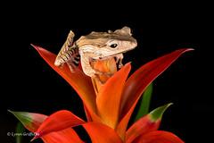 Borneo Eared Frog - Perfect balance D75_2638.jpg (Mobile Lynn) Tags: borneoearedfrog amphibian frog nature captive bournemouth england unitedkingdom gb coth specanimal greatphotographers coth5 ngc sunrays5 npc