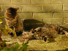 It must be love (rospix+) Tags: rospix 2016 october wales uk animal animals cat cats tabby tabbycat