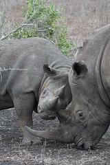 DSC00400 (Cyn Reynolds) Tags: blackrhino whiterhino a77ii 2016 zulunyala sooc southafrica