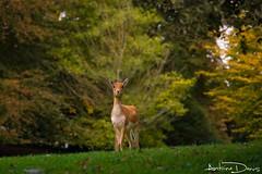 Bambi (tione76) Tags: biche forest nikon d5300 tione76 nature paysage landscape doe animal trees arbres autumn automne
