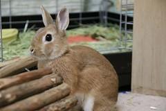 Ichigo san 432 (mensore) Tags:  rabbit bunny netherlanddwarf brown cute pet family ichigo