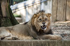 Cheese Eating Grin! (Miles McNamee) Tags: dczoo smile grin animal lion king outdoor carnivore big cat