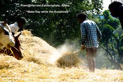 Mysterious-Morning-Raga--Araku--Harvesting-Extracting-grains-Dusting-copy (prem swaroop) Tags: harvest crop cultivation tilling easternghats araku arakupicturepostcard aptourism travelindia andhrapradesh prem