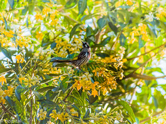 New Holland Honey Eater 5 (ozipital) Tags: newhollandhoneyeater bird pittosporum flowers tree nature