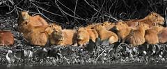 The family.... (Jamie B Ernstein) Tags: capybara rodents mammals animals nikon pantanal brazil matogrosso rioclaro river rio monochrome selectivecolour ginger