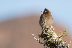 Cape Bulbul (Pycnonotus nigricans) (George Wilkinson) Tags: pycnonotusnigricans cape bulbul goegap bird nature reserve canon 7d south africa 400mm northern