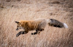 The catch . . . (Dr. Farnsworth) Tags: fox hunting jump catch mice vole rockymountainnationalpark fur rmnp co colorado fall october2016 redfox tail bushy white