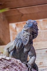 Blick von oben (grasso.gino) Tags: tiere animals natur nature tierpark bochum nikon d5200 reptil reptile echse leguan iguana
