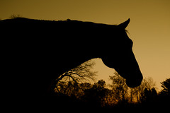 Sunset Silhouette (Steve Byrne's Photos) Tags: canon silhouette flickrfriday horse sunset