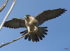 Peregrine Falcon wing spread (miketabak) Tags:
