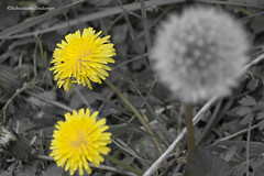 DSC_7374 (pisavola) Tags: flora monti pisani