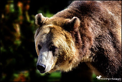 RESPECT (Aspenbreeze) Tags: bear grizzlybear grizzly wildbear nature wildanimal animal wildlife wyomingwildlife fur wild bevzuerlein moonandbackphotography aspenbreeze