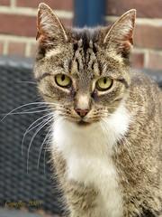 Sweet face (Cajaflez) Tags: kat katze chat gatto huisdier portret portrait zus notmycat