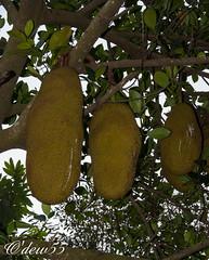 Vietnam (wpierre48) Tags: vietnam jackfruit fruit arbre