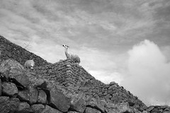my machu picchu (sophs123.) Tags: machu picchu llama animal bw blackwhite contrast clouds nature travel trekking hiking peru cuzco cusco south america sudamerica latinoamerica wildlife canon canon400d