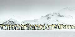 March of the Penguins (Harry Colquhoun) Tags: bird penguin king antarctic southgeorgia march marching