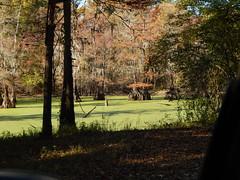 habitat shot for bird list: Cowpen Bayou, Catahoula NWR Hq Unit. La Salle Parish, Louisiana DSCN0397 (fall_out_bird_bayou_state) Tags: bayou swamp wetlands nwr cypresses forest autumn birding