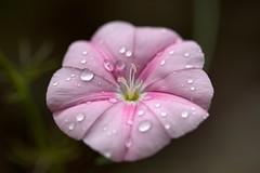 IMG_7301 -1 (glitterkami) Tags: flower rain rose pistil proxy pink drops bokeh macro macrodreams macrophotography nature
