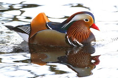 Mandarin on Bollin (claylaner) Tags: aixgalericulata duck bird styal river bollin water reflection