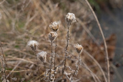 Thistles in early winter (drbensonjr) Tags: nature bakerwetlands