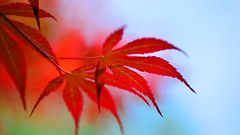 Shanghai - Red Leaves (cnmark) Tags: china shanghai changning district huashan road xingfu park green area japanesemaple acerpalmatum momiji irohamomiji foliage leaves red bltter laub spring frhling color colour        outdoors bokeh allrightsreserved