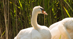 Pondering. (Alex-de-Haas) Tags: tgeestmerambacht animals dieren geestmerambacht nederland noordholland thenetherlands animal bird birds dier feathers naturereserve natuurgebied recreatie recreatiegebied recreation recreationpark summer swan swans veren vogel vogels wildlife zomer zwaan zwanen