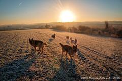 frosty dog walk 003 (Phoenix photo and craft UK) Tags: dogs ets gsd german shepherd dog walk south yorkshire england sunrise frost winter