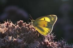 Orange Sulphur (Colias eurytheme), Tennessee (kmalone98) Tags: butterflies orangesulphur whitesandsulphurs