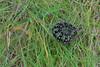 Emperor moth, caterpillar, Saturnia pavonia (Shandchem) Tags: scotland moth caterpillar loch saturnia emperor caithness pavonia yarrows cairnsofwarehouse