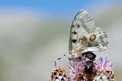 Apollon - Parnassius apollo -  (michel lherm) Tags: papillons apollon lpidoptres parnassiusapollo rhopalocres