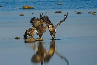 Whitetailed eagle  2015-10-18_03 [Explored 2015-10-18]