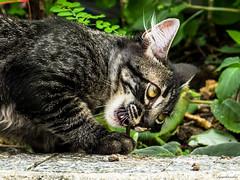 [Alma Negra] (bgarkauskas) Tags: cat flickr sony gato f3 mongrel srd nex 1855mmf3556 almanegra bgarkauskas