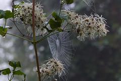 Herfst (Olga and Peter) Tags: autumn fall herfst spiderweb nederland thenetherlands diemen spinnenweb fp1080977