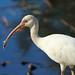 White Ibis Closeup