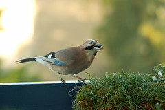 Eichelhher (rieblinga) Tags: park garten rabenvogel eichelhher