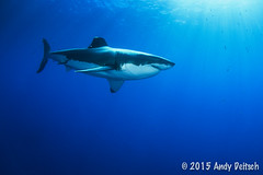 20151001-163645-213-Edit (andy_deitsch) Tags: mexico sharks 2015 guadalupeisland