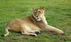 Lioness Relaxing (Kerry711) Tags: park wild england animal cat lens big minolta wildlife sony yorkshire alpha 75300mm lioness doncaster a77 southyorkshire
