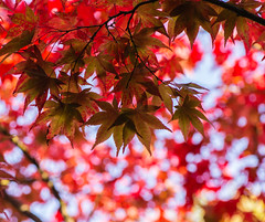 My favorite :) (www.mroosfotografie.nl) Tags: red netherlands colors garden japanese maple dof bokeh magic hague the clingendael mroosfotografie
