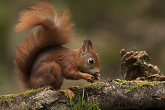Rode eekhoorn - Red squirrel (aaronmeijer2) Tags: nature animal animals canon mammal eos rodent outdoor depthoffield knaagdier wildlifephotography zoogdier deklinge boshut clinge fotografiehut
