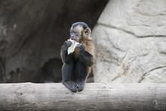 Mono comiendo (David Castro Rodriguez) Tags: brown monkey mono nikon tag like blacks nikkor faunia comiendo
