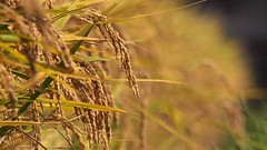 Ready to crop (coniferconifer) Tags: autumn japan rice harvest