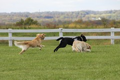 Stanley Joins The Pack (the_mel) Tags: dog dogs lab maryland wcc servicedog labradorretriever veterans goldenretreiver therapydog warriorcanineconnection