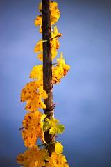 vine (Guido F.J. Ehlers - gfje) Tags: vineyard outdoor laub herbst vine foliage minimalism wein weinberg rebe rebstock bopparderhamm sonyα900 minoltaaf200mmf28